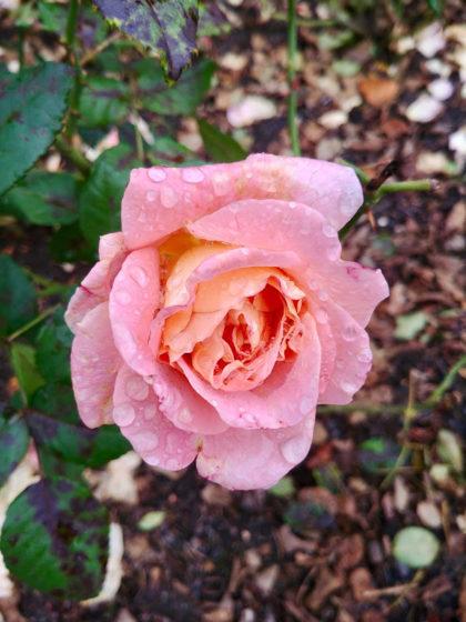 3 Jahre später - Es ist Oktober, aber es blühen noch jede Menge Rosen