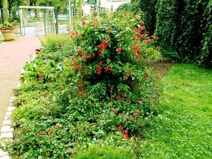 Nicht die letzte, sondern eher die erste Rose des Sommers