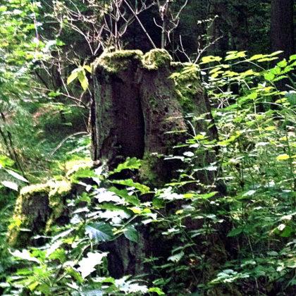 Ein Exemplar aus dem Baumstumpfpanoptikum