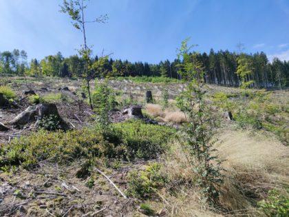 Jetzt leider nur noch eine Kahlschlag-Fläche, wie in so vielen Wäldern