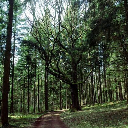 Ein Baum wie ein Geweih
