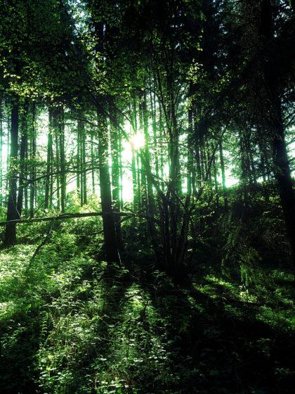 Und wieder dieses Feenlicht zwischen den Bäumen