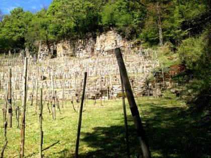 Ein Weinberg mitten im Wald