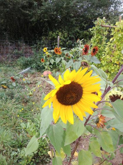 Sonnenblumenleuchten