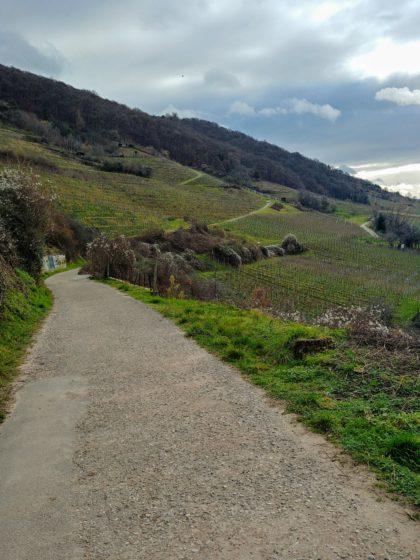 Zunächst wandern wir auf dieser Weinbergtrasse oberhalb von Schriesheim