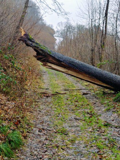 Immer wieder umgestürzte Bäume, vermutlich Überbleibsel des Orkans Sabine zwei Wochen zuvor