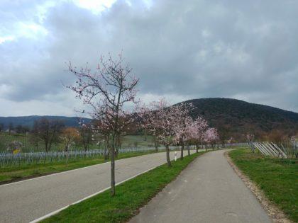 Kurzer Irrweg, aber wenigstens gibt es ein paar blühende Mandelbäume zu sehen