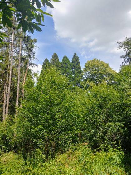 44 Meter hohe Mammutbäume ragen über die übrigen Bäume hinaus - sie sind 1868 hier gepflanzt worden