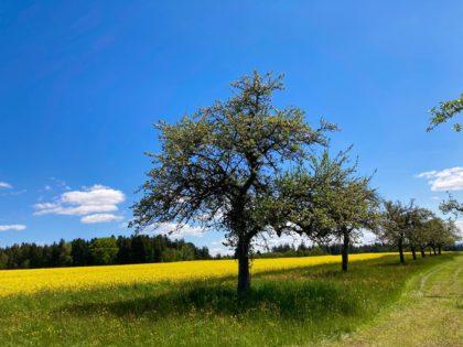 Weg neben Rapsfeld und Obstbäumen im Nordschwarzwald/Ma la