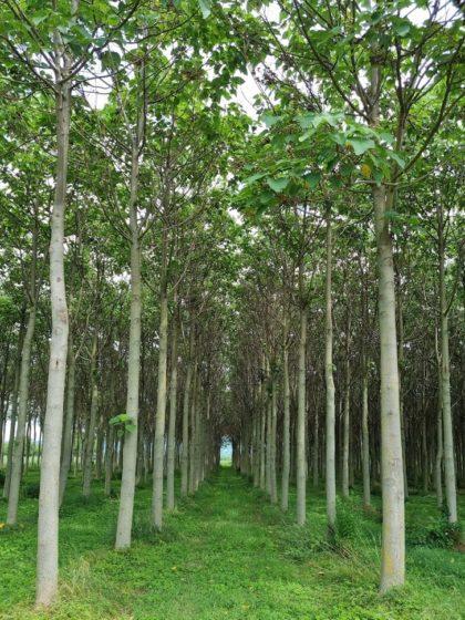 Eine Kiri-Baum-Plantage