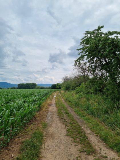 Zwischen Maisfeldern und Kanzelbach